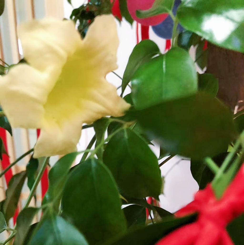 幸福树花开
