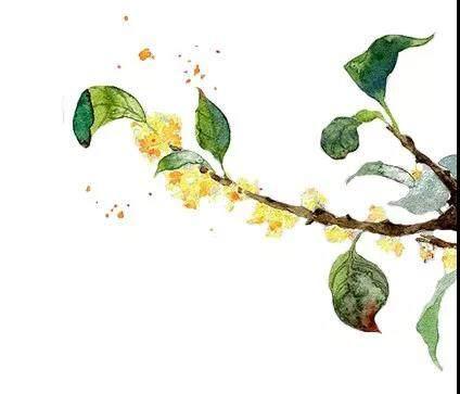 八月 | 香遇木樨,清脾健胃,满室生香